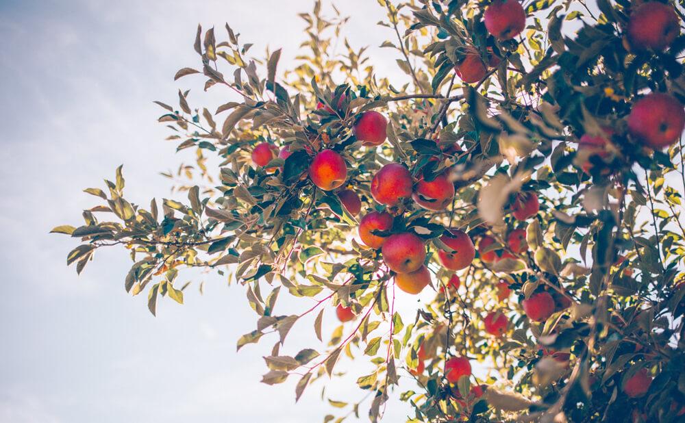 りんご農園のブランディング_デザイン